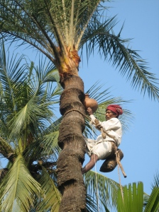 Date palm sap collector hanging a collection pot.